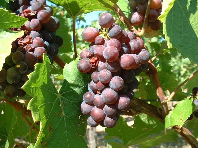 Pinot Gris Vendange Tardive
