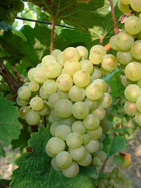 Sylvaner_grape.JPG