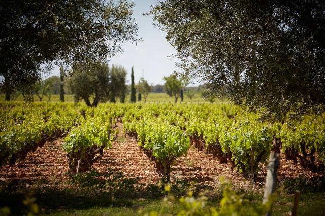 Les vignes 4