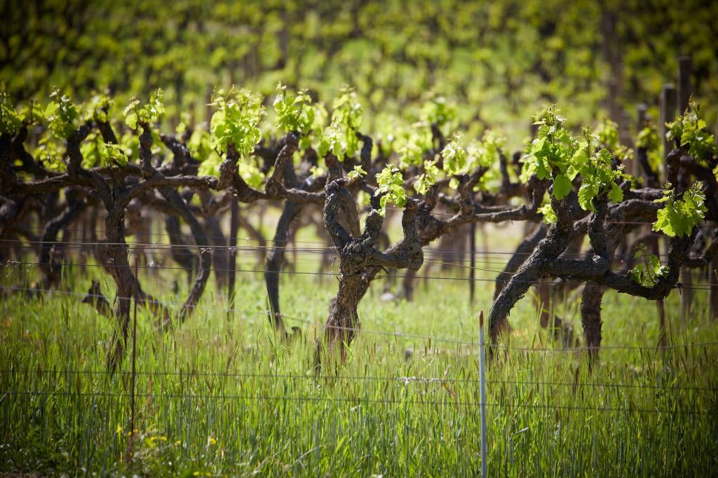 Vignes vinsobres 3